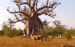 Le baobab bio sauvage Adansonia Digitata d'Afrique