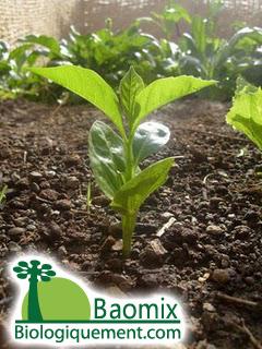Growing a baobab