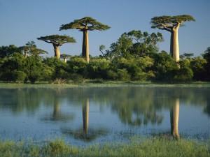 GIANT MADAGASCAR BAOBAB