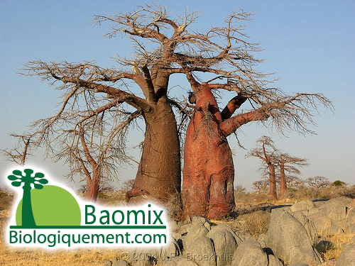 Legends of the Baobab Tree