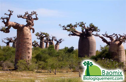 Multi-Functional Baobab Fruit as the Latest Superfood