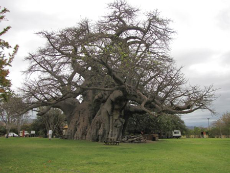 The Astounding Baobab