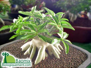 How to Care for a Baobab Bonsai