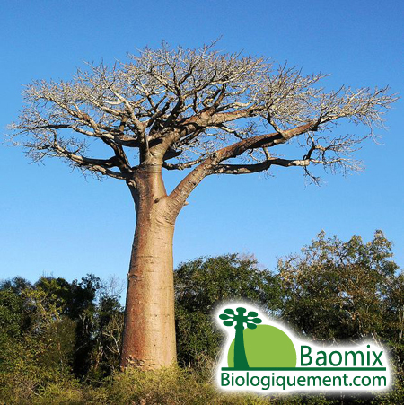 Wild baobab Tree