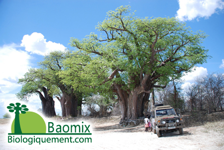 The Baobabs tree
