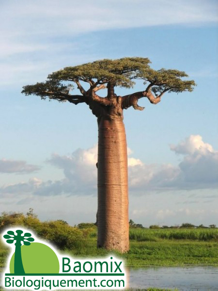 Madagascar's bid to save its majestic baobab trees