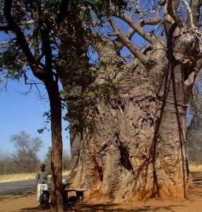 Le baobab africain adansonia digitata