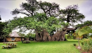 Le baobab adansonia digitata africain